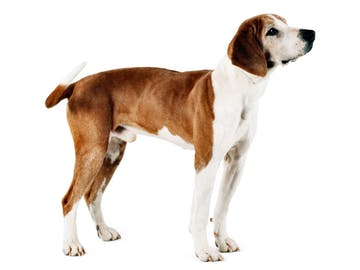 Hygen Hund