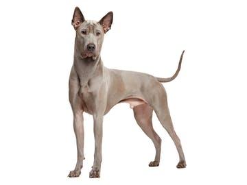 Thaï Ridgeback Dog