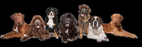 schiera di cani doggami