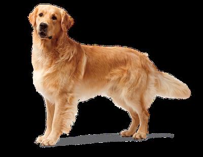 golden doggami